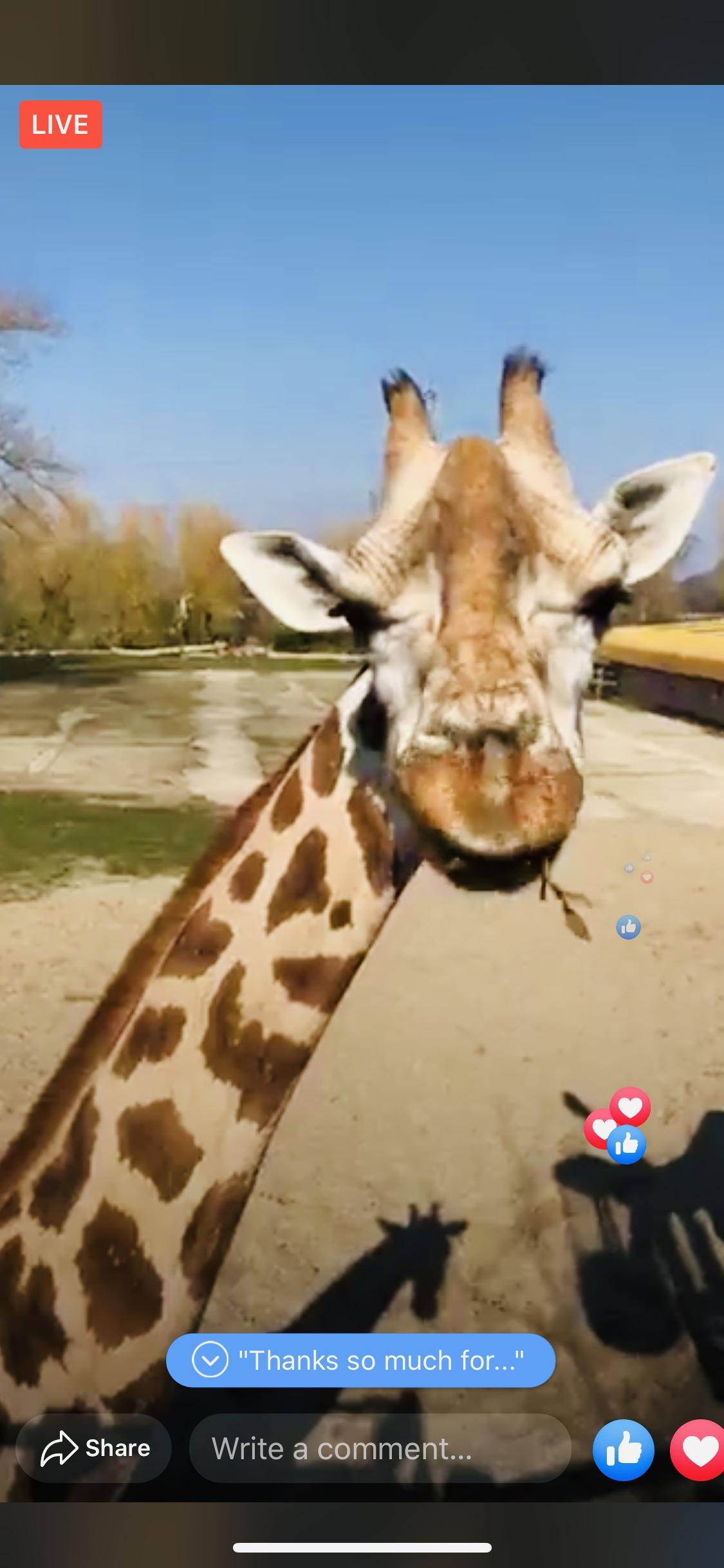 Giraffe Facebook Live Chester Zoo